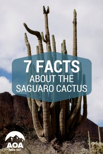 This blog offers 7 facts about Arizonas Giant Saguaro Cactus