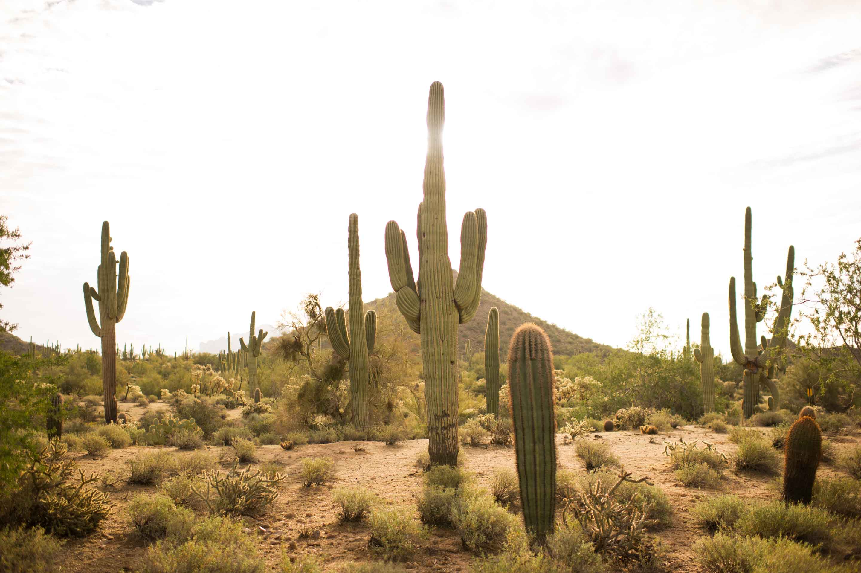 giant saguaro cactus - photo by Diana Zalucky