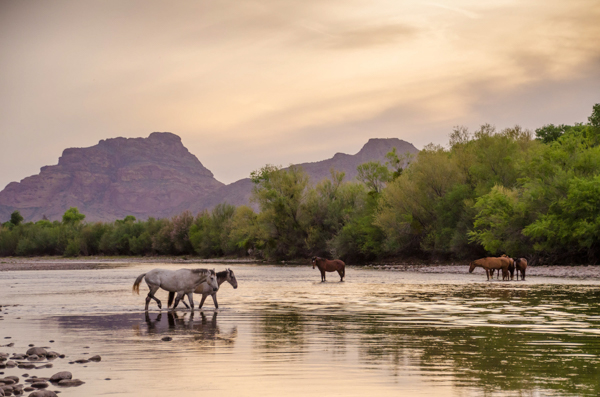 Wild Horses on the Salt River near Phoenix, Arizona, United States of America