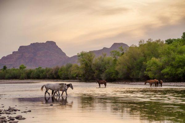 Wild Horses on the Salt River near Phoenix, Arizona, United States of America