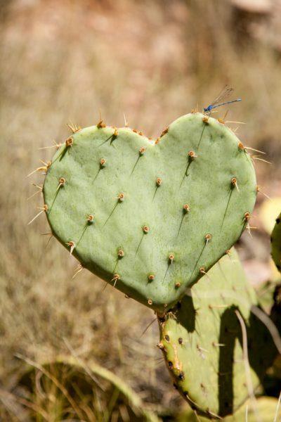A heart shaped cacti.