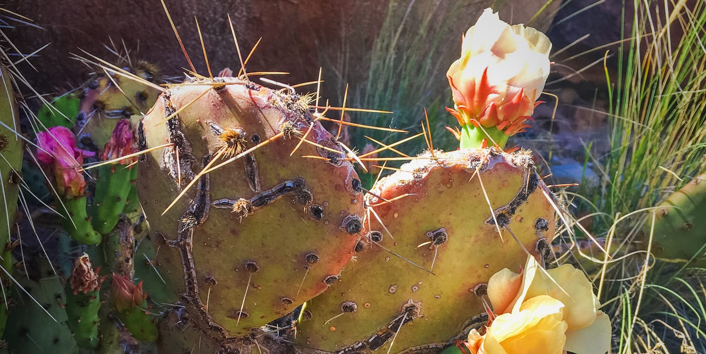 Close up of cactus with flowers at Escalante National Monument