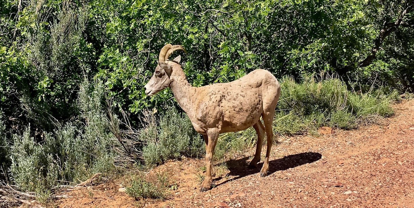 Close up of goat at Escalante National Monument.