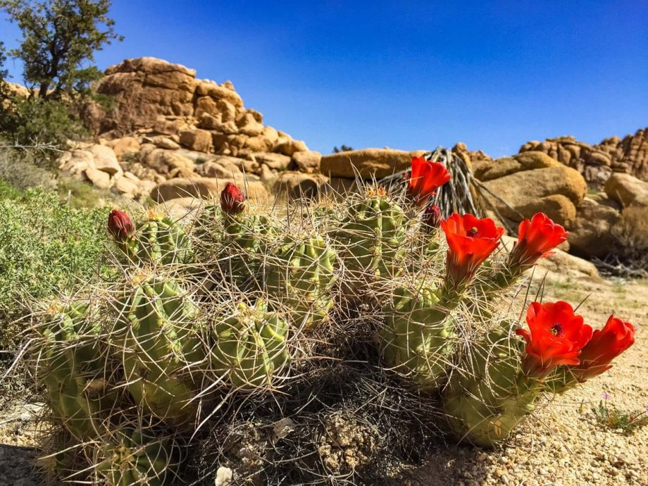 Close up of cacti with flowers at Joshua Tree National Park