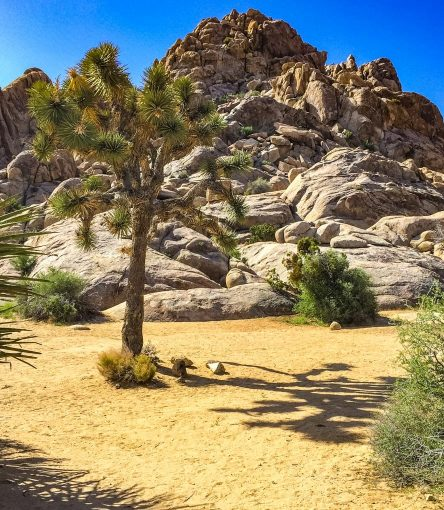 Tree in front of Joshua Tree National Park landscape
