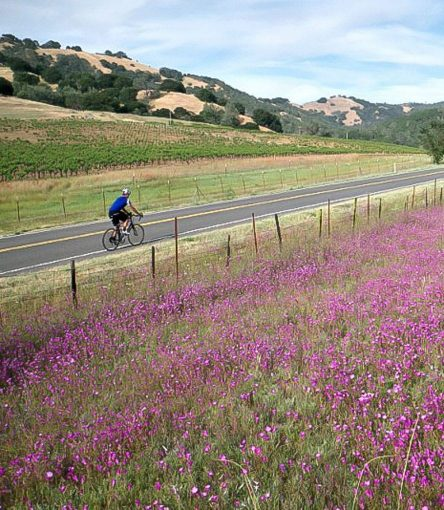 Cyclist passes field of purple flowers on Napa road bike tour