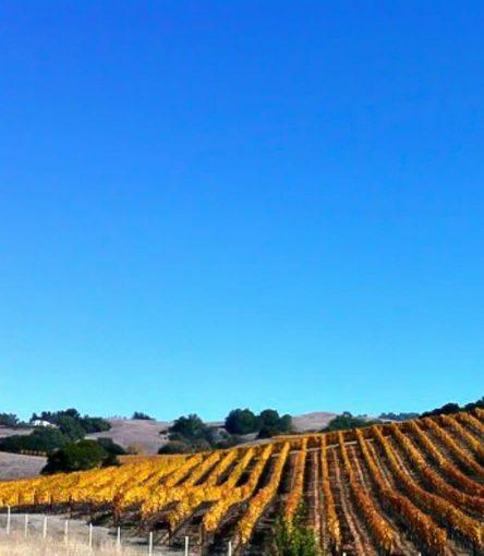 View of Sonoma vineyard beneath bright blue sky