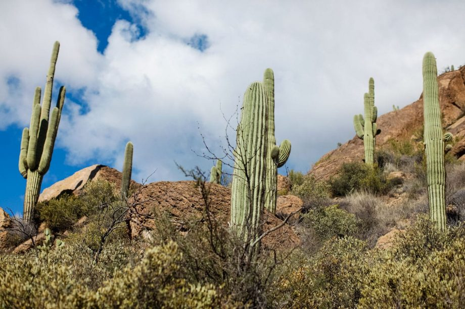 Upward view of Superstition Mountains cacti against blue sky