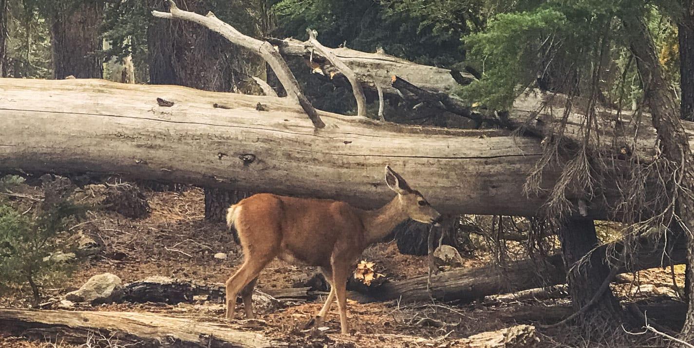 Deer standing in the woods of Yosemite.