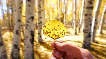 Close up of Aspen Leaf among the Aspen Trees in Flagstaff Arizona