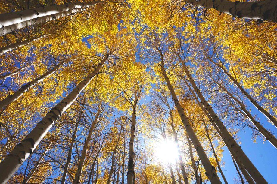 Golden Aspen Trees in fall on the Inner Basin Trail in Flagstaff Arizona