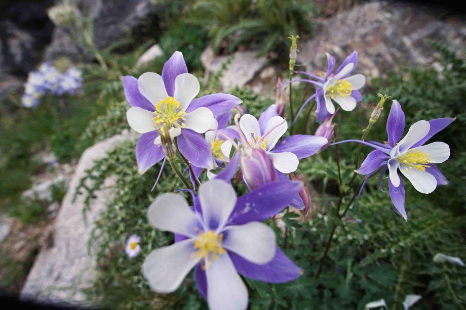 Colorado Columbine Flower.