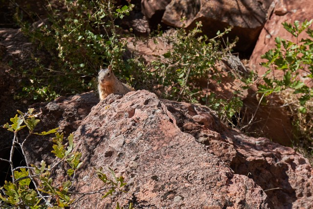 Squirrel in the Grand Canyon.