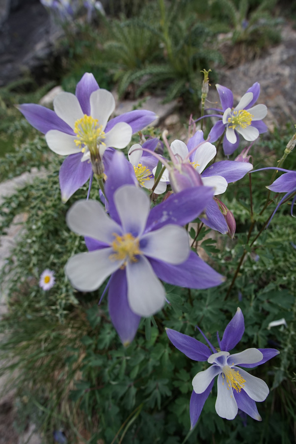 Flower in Rocky Mountain National Park