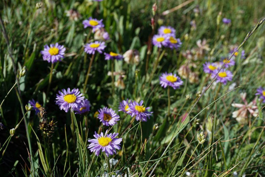 purple flowers on the mount washburn trail in yellowstone